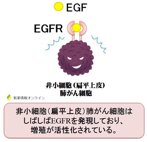 扁平上皮肺がんとEGFRの働き