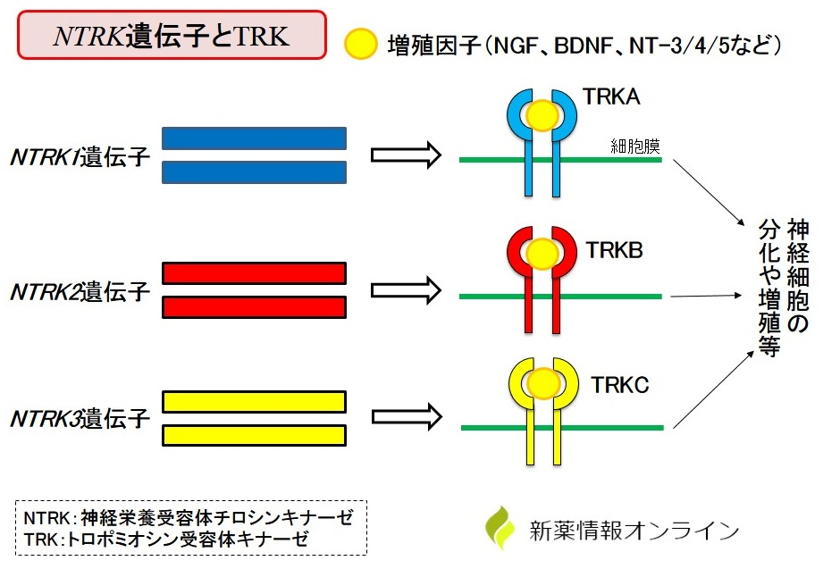 NTRK遺伝子とTRKとは