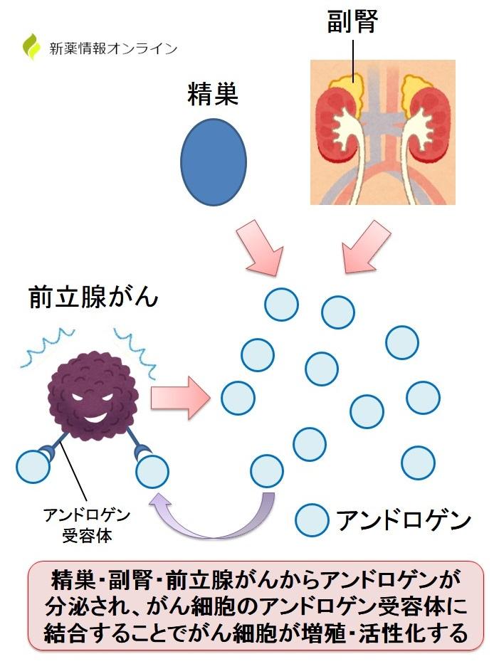 前立腺がんの増殖とアンドロゲン