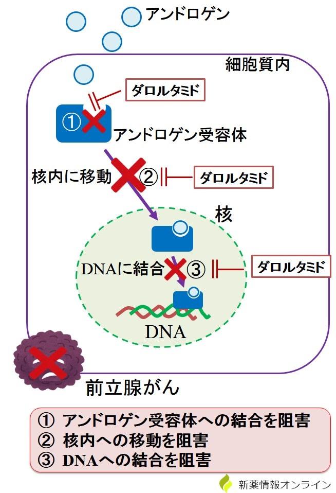 ダロルタミドの作用機序