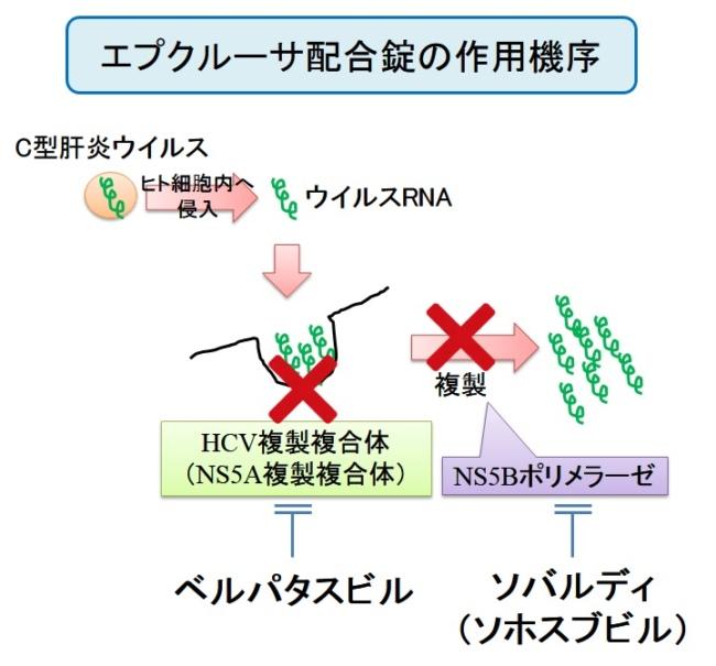 エプクルーサ配合錠(ベルパタスビル/ソホスブビル)の作用機序