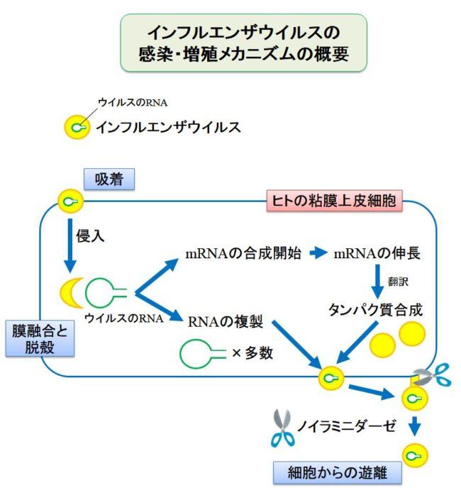 インフルエンザウイルスの感染・増殖メカニズム