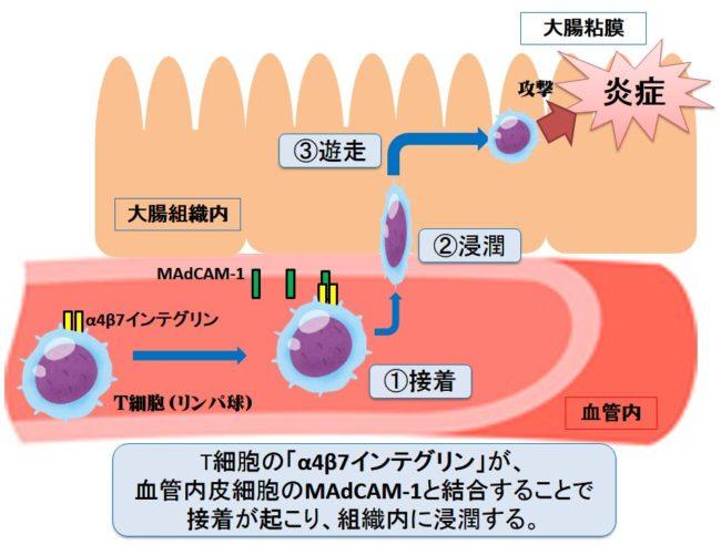 エンタイビオ(ベドリズマブ)の作用機序【潰瘍性大腸炎/クローン病】