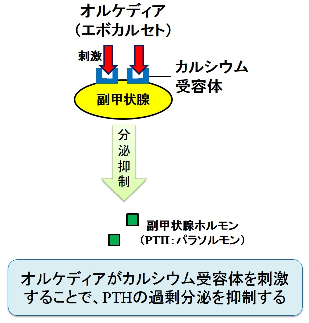 オルケディア(一般名:エボカルセト)の作用機序
