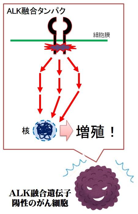 ALK融合遺伝子とがんの増殖メカニズム