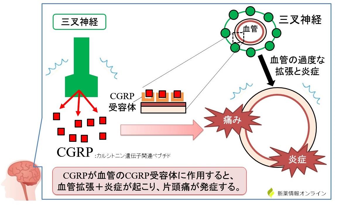 片頭痛の発症と三叉神経血管説:CGRPが関与している