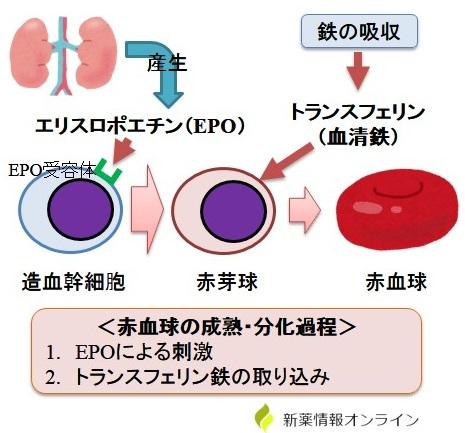 エリスロポエチンの作用
