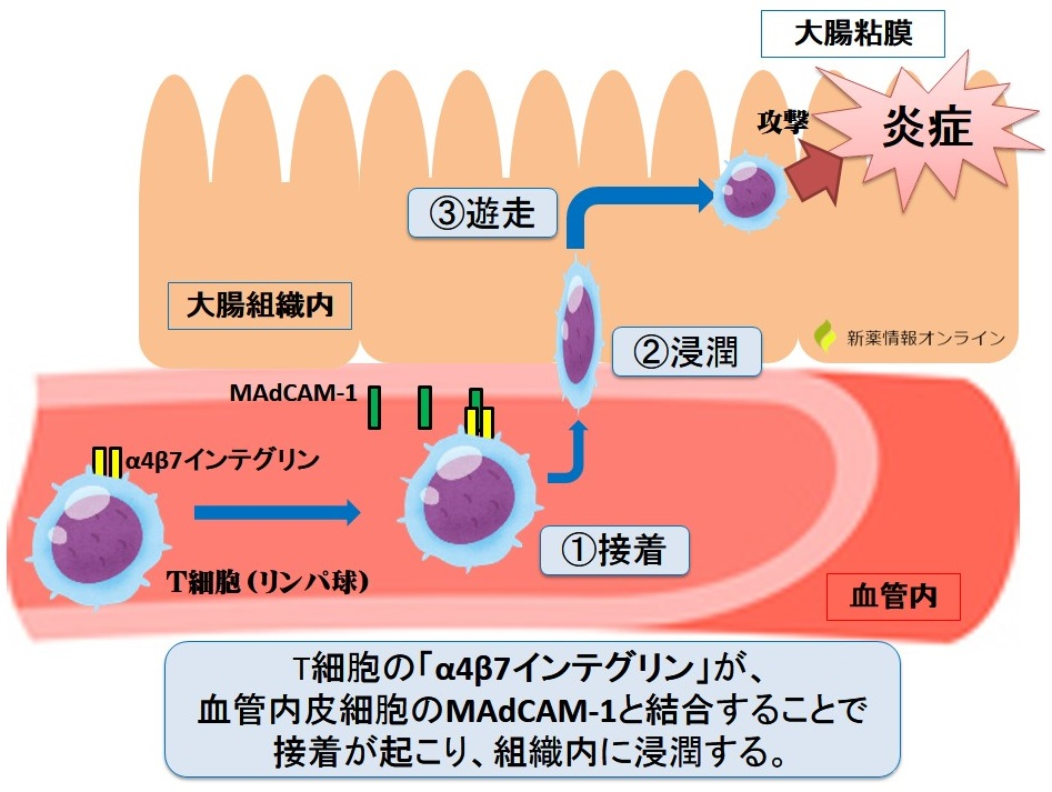 α4β7インテグリンとMAdCAM-1の働き