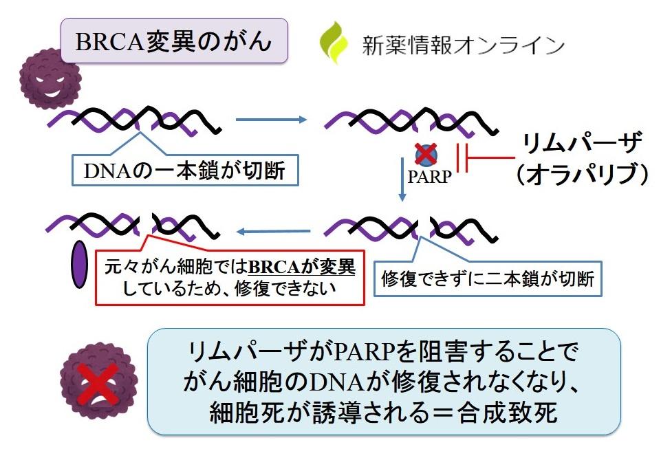 リムパーザ(オラパリブ)の作用機序:合成致死