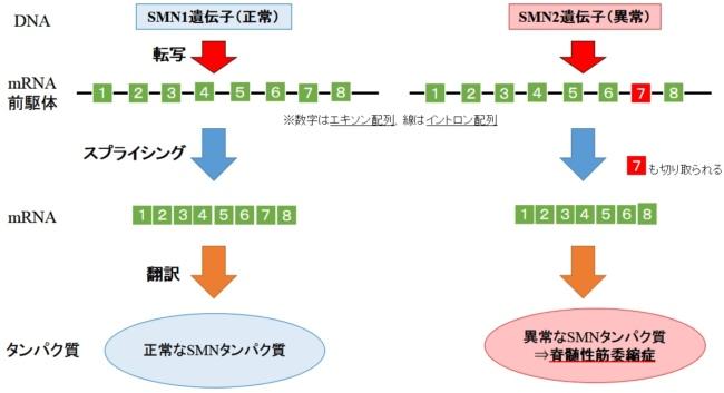 SMN1とSMN2
