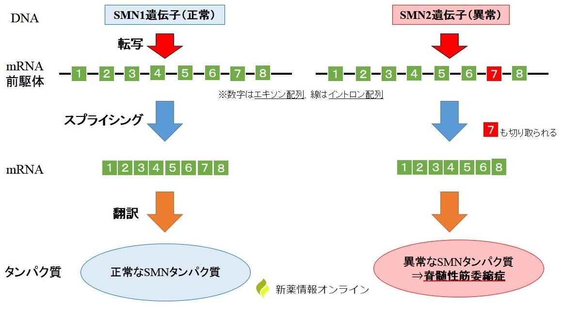 脊髄性筋委縮症とSMN1/SMN2遺伝子