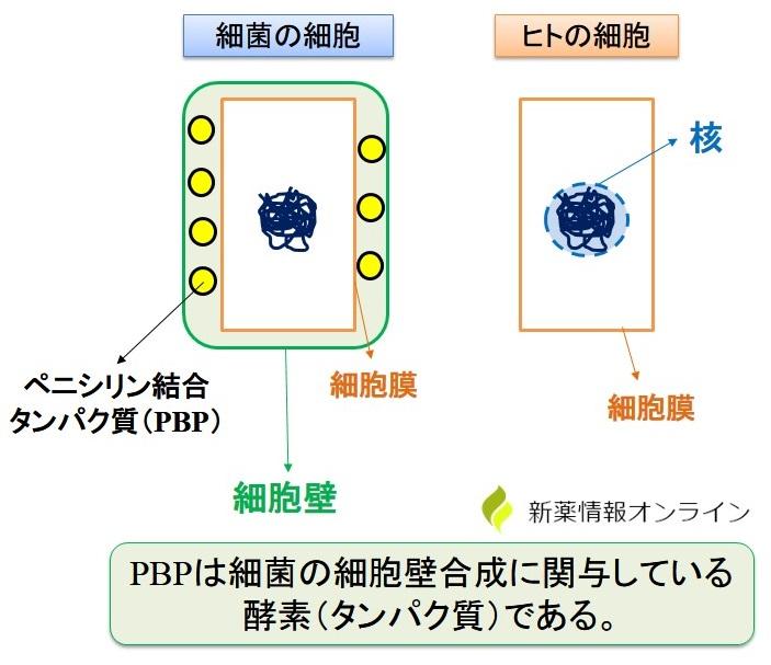 ペニシリン結合タンパク質(PBP)とは?ヒトと最近の細胞の違い