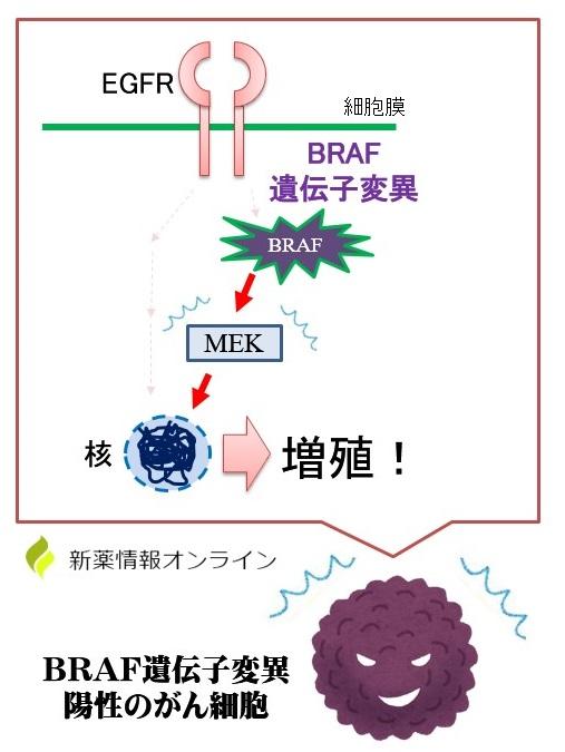 がんのBRAF遺伝子変異とMEKの活性化