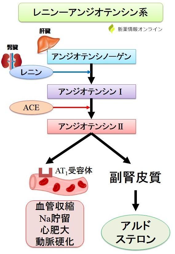 レニン-アンジオテンシン系