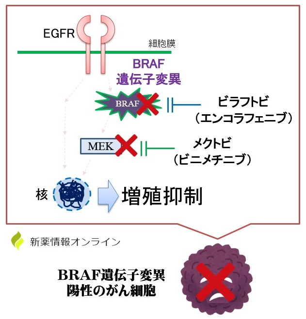 ビラフトビ(エンコラフェニブ)とメクトビ(ビニメチニブ)の作用機序