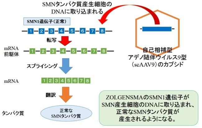 ZOLGENSMA(AVXS-101)の作用機序