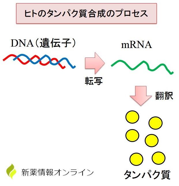 ヒトタンパク質の合成過程