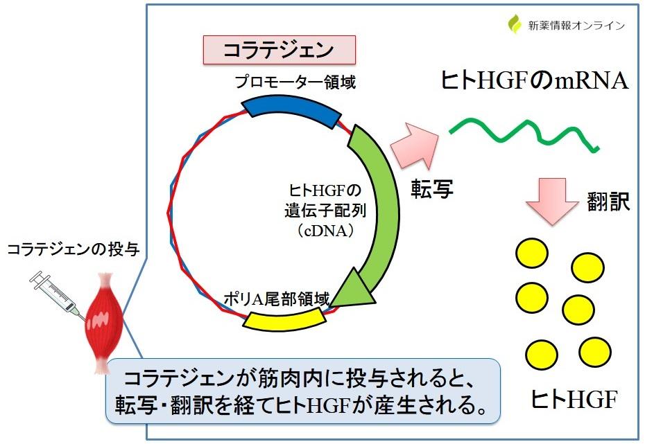 コラテジェン(ベペルミノゲン ペルプラスミド)の作用機序