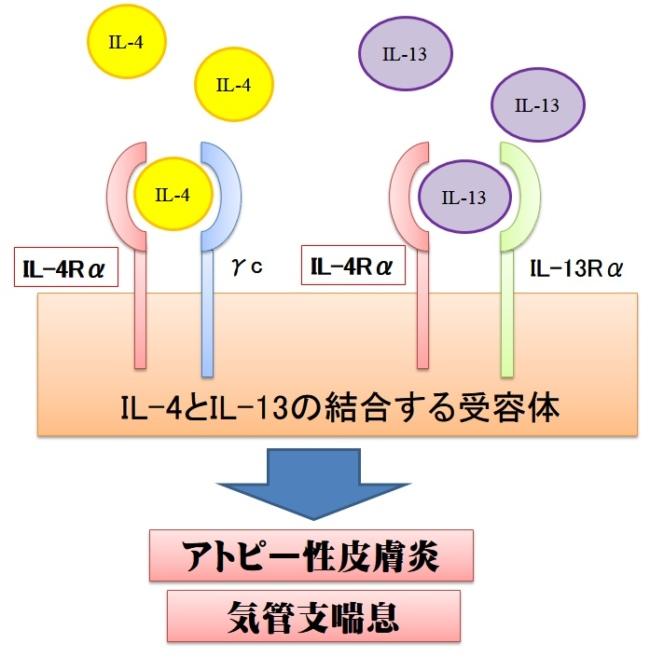 IL-4とIL-13の受容体の構造
