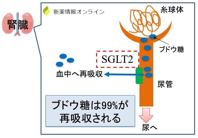 SGLT2によってブドウ糖は99%が再吸収される