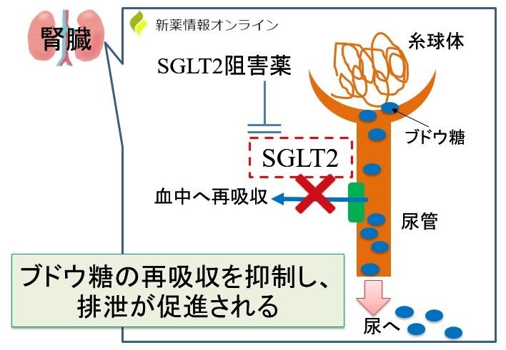 SGLT2阻害薬の作用機序:ブドウ糖の排泄促進