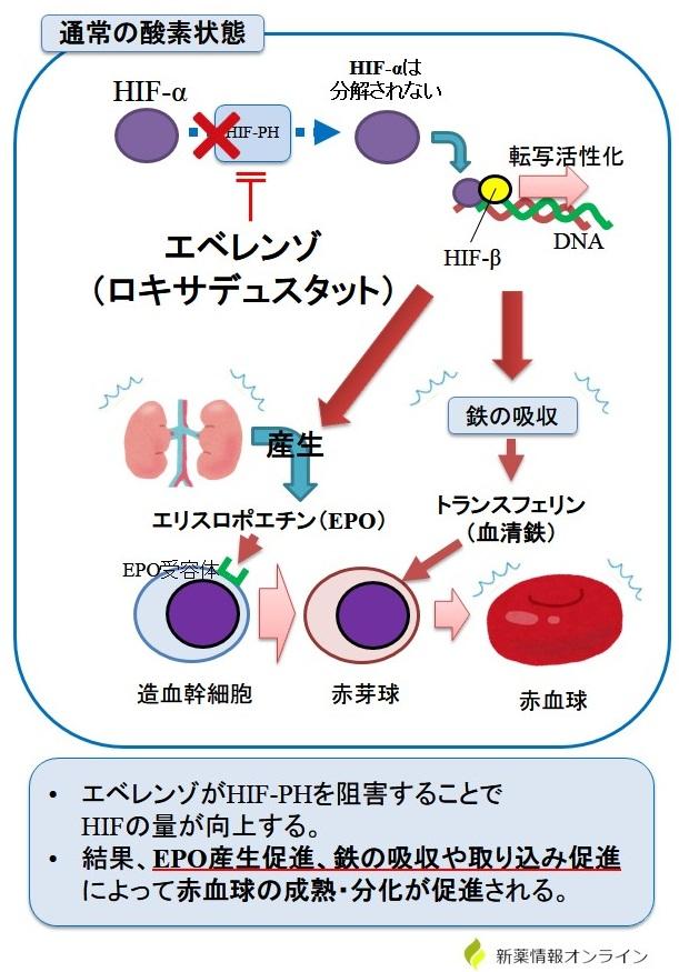 エベレンゾ(ロキサデュスタット)の作用機序:HIF活性化薬