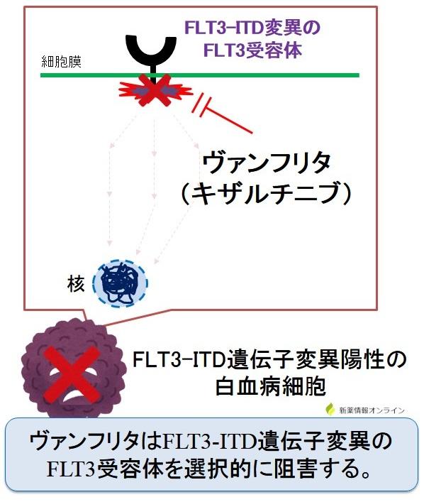 ヴァンフリタ(キザルチニブ)の作用機序:FLT3阻害薬