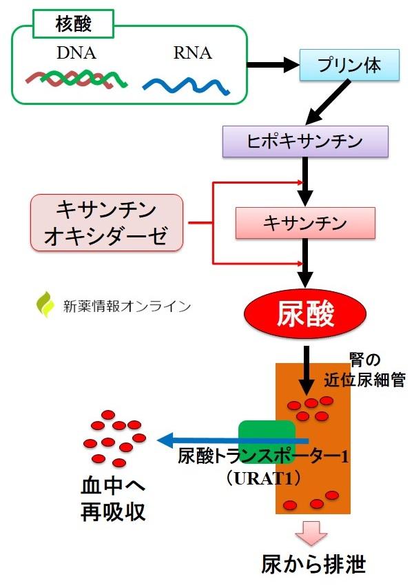 尿酸の生合成と排泄メカニズム:キサンチンオイシダーゼとURAT1