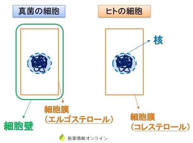 真菌の細胞とヒト細胞の違い:細胞膜がエルゴステロール