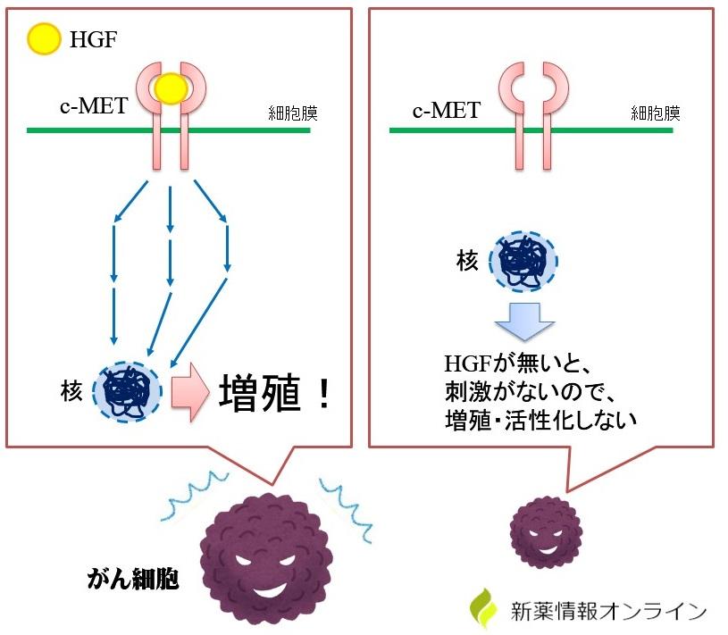 c-METとHGFによる癌細胞の増殖メカニズム
