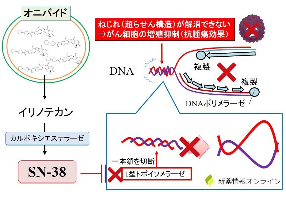 オニバイド(イリノテカン)の作用機序:Ⅰ型トポイソメラーゼの阻害