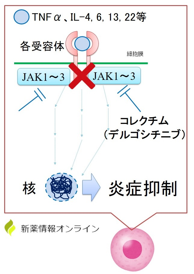 コレクチム軟膏(デルゴシチニブ)の作用機序:JAK1~3を阻害する