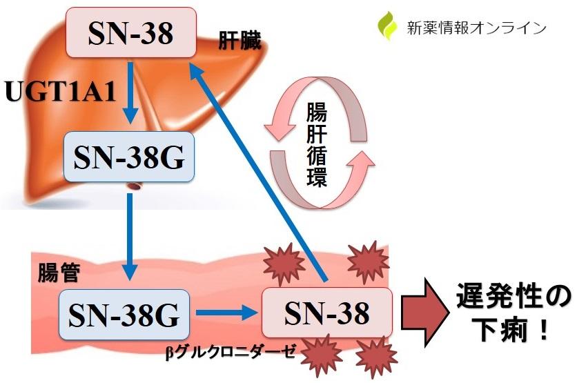イリノテカン(SN-38)による下痢の発現機序と腸肝循環