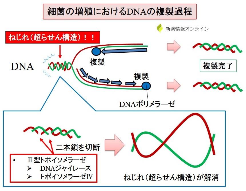 DNA複製におけるⅡ型トポイソメラーゼ(ジャイレース、トポイソメラーゼⅤ)の働き:超らせん構造の解消