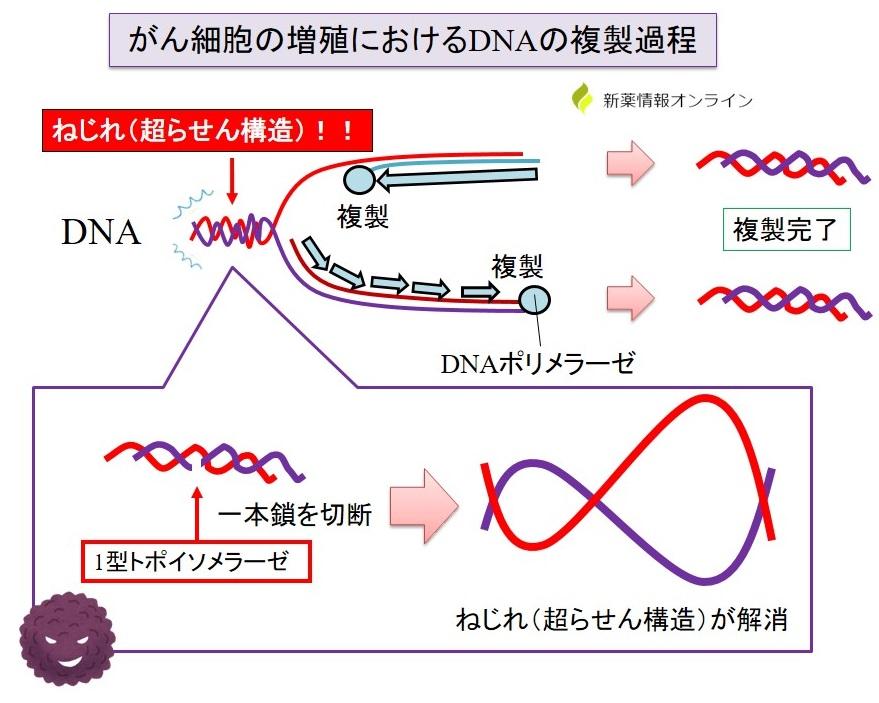 がん細胞の増殖とⅠ型トポイソメラーゼの働き:超らせん構造の解消