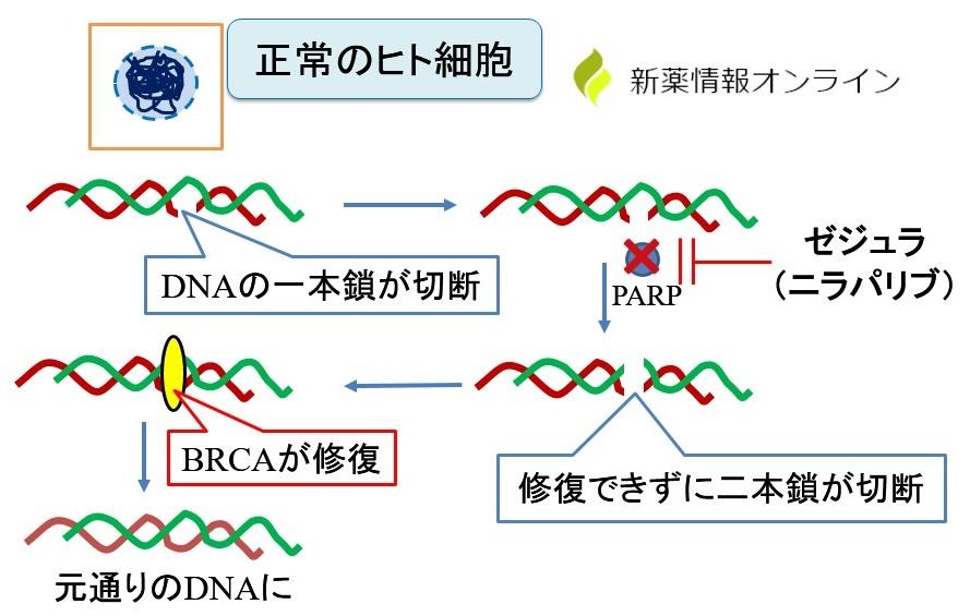 正常細胞へのPARP阻害薬の影響