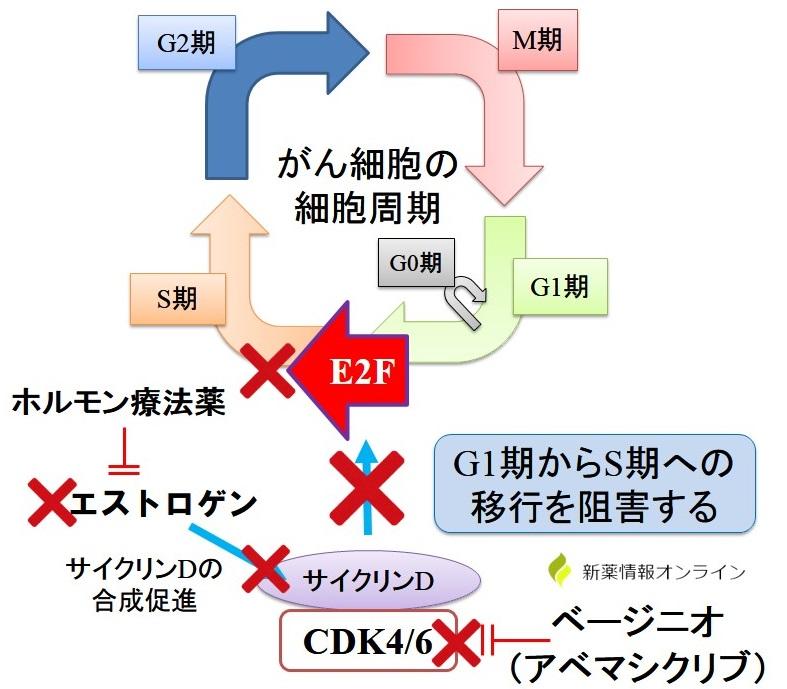 ベージニオ(一般名:アベマシクリブ)の作用機序:CDK4/6阻害薬