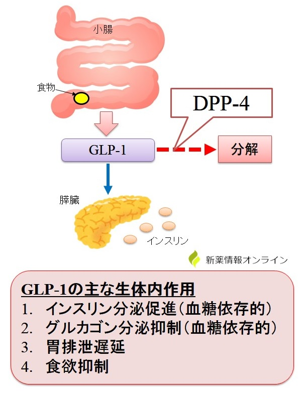 GLP-1の働きとDPP-4