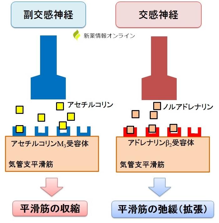 気管支平滑筋の神経支配(交感神経・副交感神経)