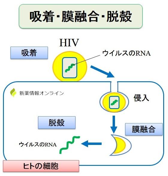 HIVの吸着・膜融合・脱殻