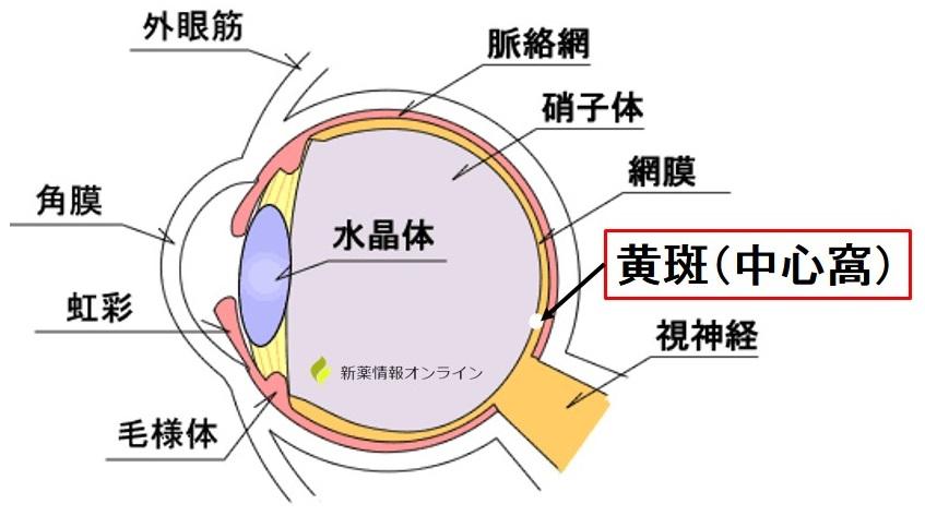 眼の構造と黄斑(中心窩)