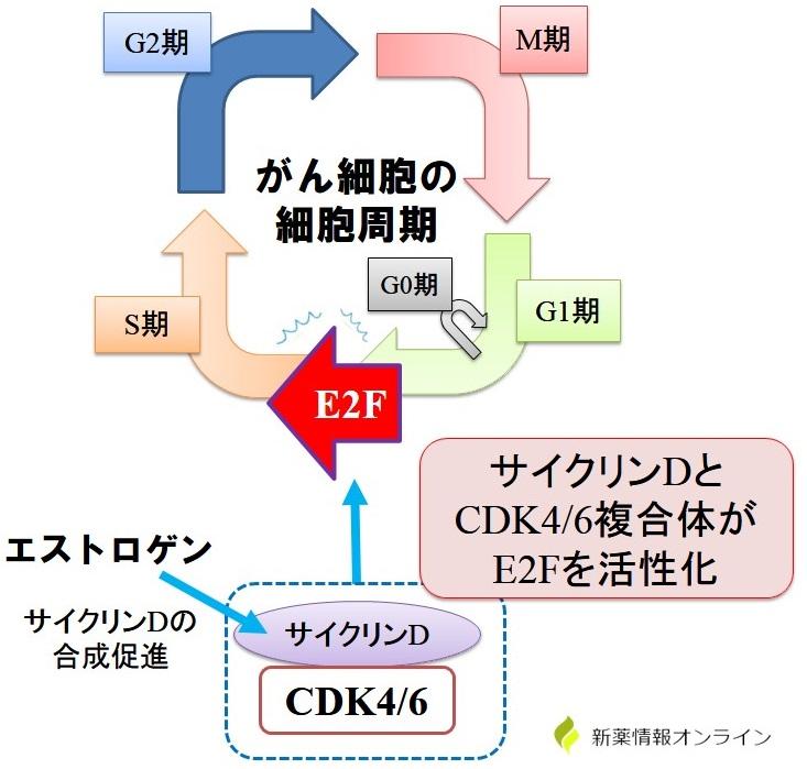 サイクリンDとCDK4/6によるE2Fの活性化メカニズム