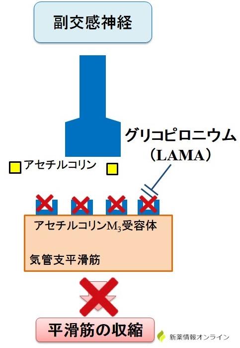 ビレーズトリの作用機序:グリコピロニウム(LAMA)
