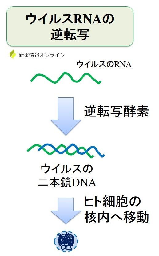 HIVのRNAの逆転写と逆転写酵素