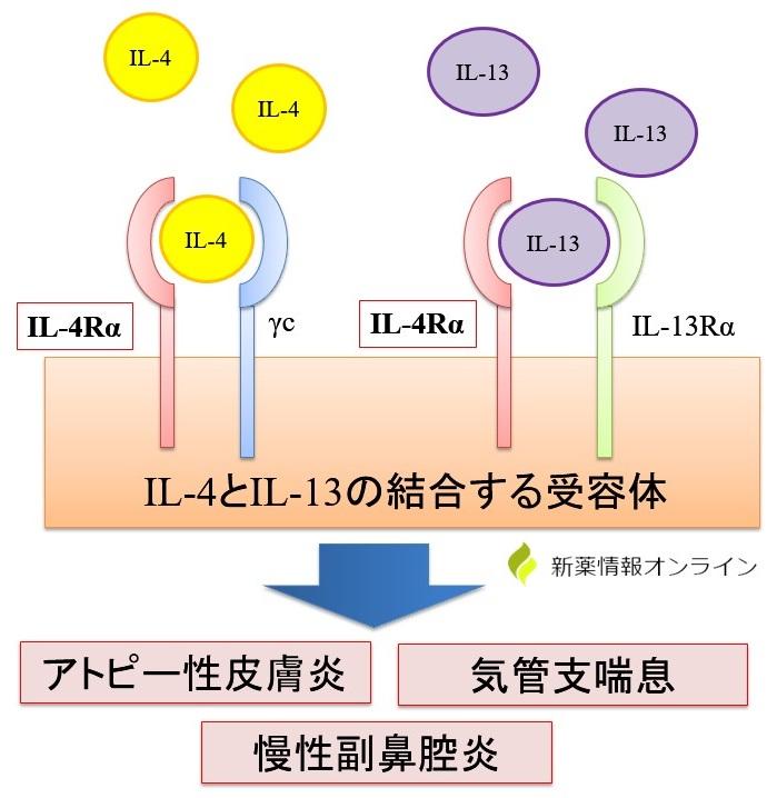 IL-4やIL-13とその受容体