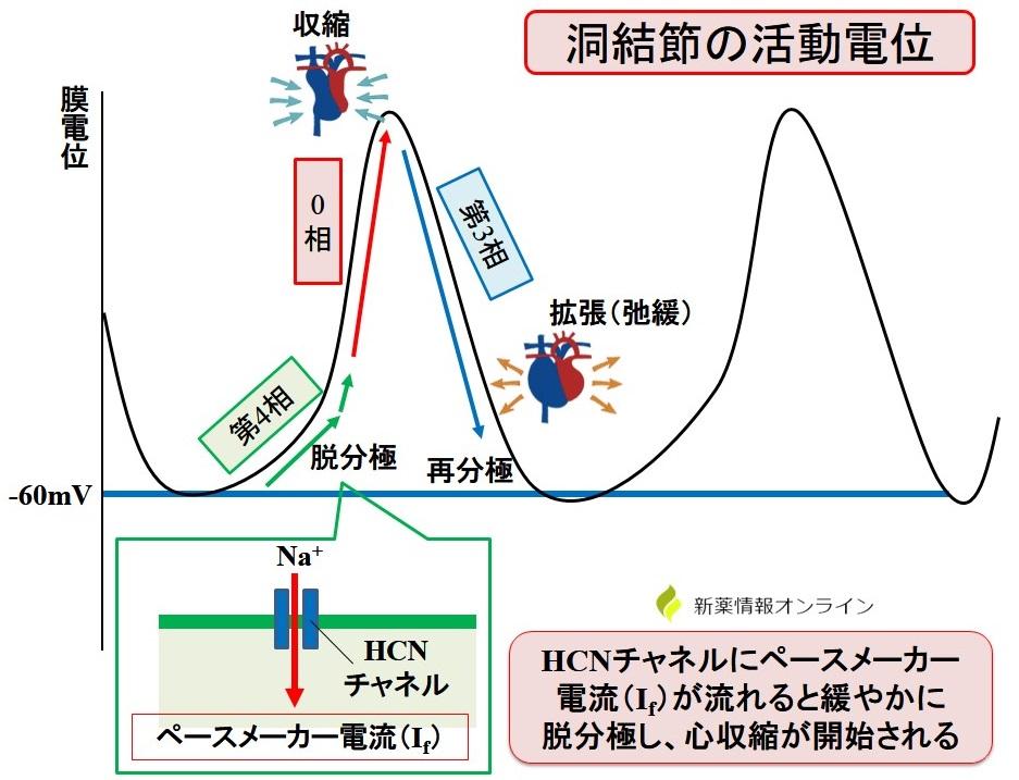 洞結節の活動電位:HCNチャネルとペースメーカー電流