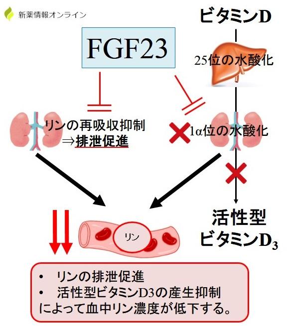 FGF23(繊維芽細胞増殖因子23)の作用・働き:リンの再吸収抑制と活性型ビタミンD3の産生抑制