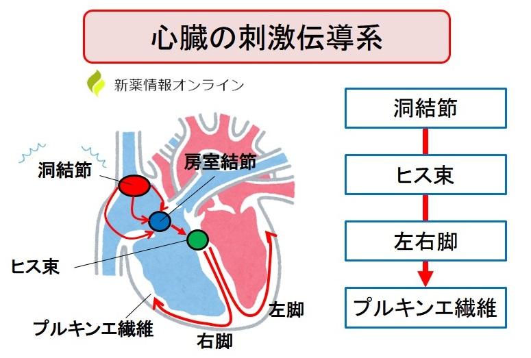 心臓の刺激伝達系