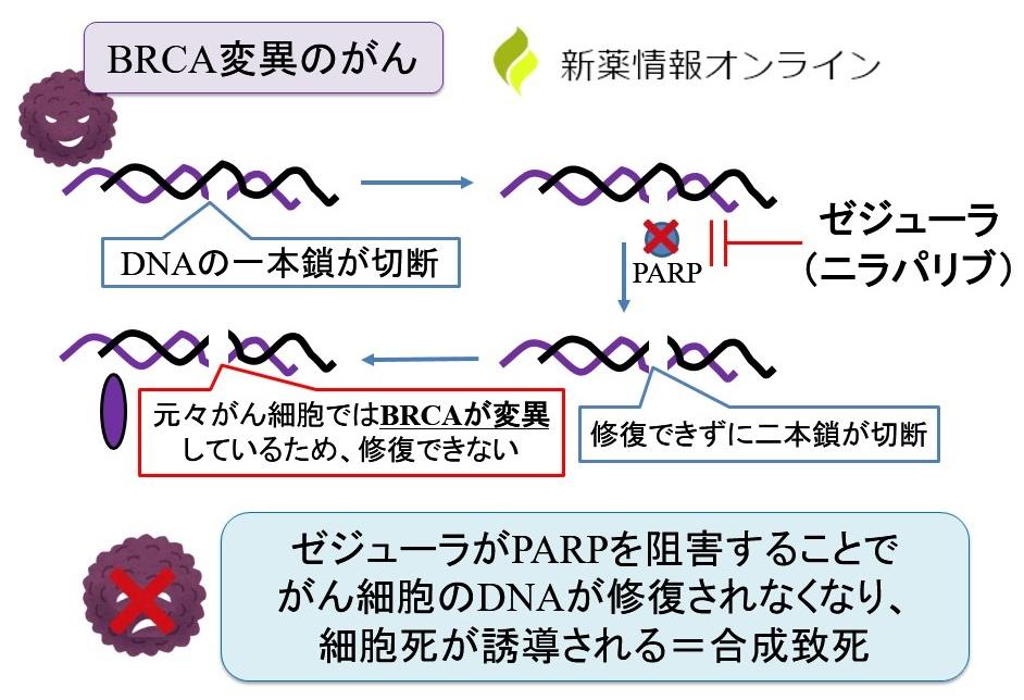 ゼジューラ(ニラパリブ)の作用機序:正常細胞へのPARP阻害薬の影響