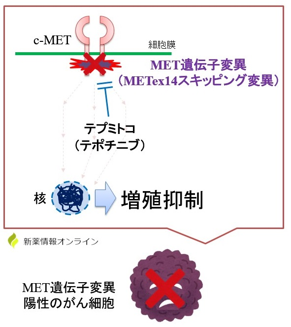 テプミトコ(テポチニブ)の作用機序:c-MET阻害薬